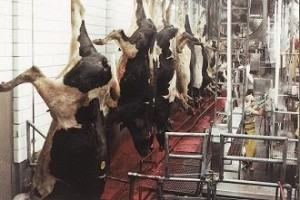 Animal Slaughter (Image Source - Animal Welfare Institute - awionline.org)